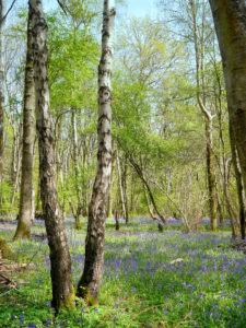 Butcher's Wood Bluebells by Sarah Harris