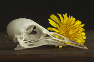 Still life with dandelion by Steven Edgar