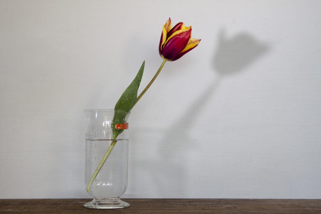 36339 || 5533 || Still life with tulip and darkroom beaker || NULL || 8027
