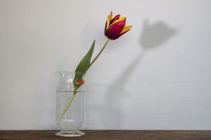 Still life with tulip and darkroom beaker by Steven Edgar