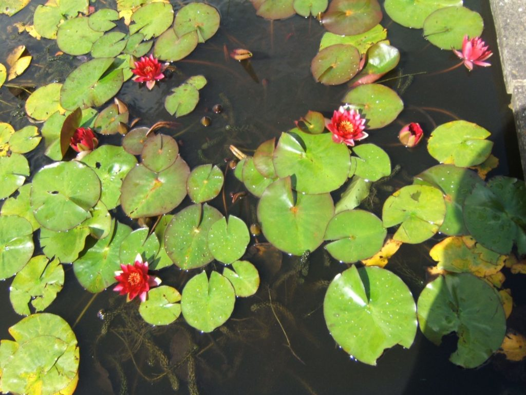 Water Lillies |