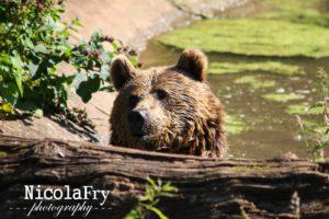 Bear by Nicky