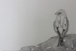 bird_on_the_rock__42_x_30cm___pencil_on_paper by Mel Coull