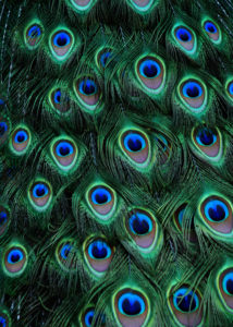 Peacocks eyes by Michelle