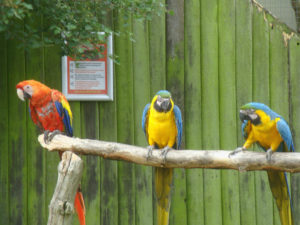 Much ado at the Macaw menagerie 3 by Perspicador