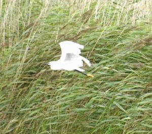 Egret in flight by Perspicador