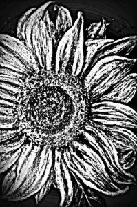 sunflower by Ann Hardcastle