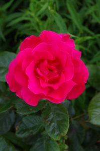 Scarlet rose by LouiseTopp