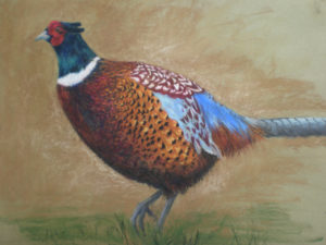 Handsome Pheasant by Moira Taylor