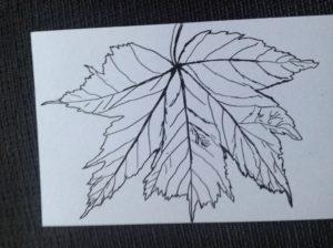 Leaf sketch by Carole Bennett