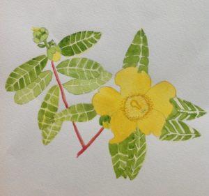 Yellow hypericum shrub by Samantha Gamage
