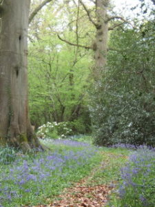 Bluebell wood. by Sass