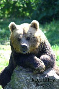 Brown Bear by Nicky