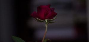 'Rose' by Hannah O'Brien