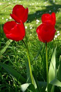 Tulips by LouiseTopp