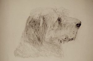 Millie (Italian Spinone) by Alan Farndon