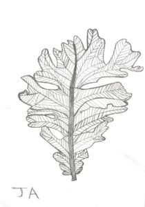 Oak Leaf by John Ackhurst