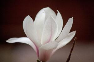 'Blooming Magnolia' by Hannah O'Brien