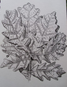 oak leaves by Rose sketch