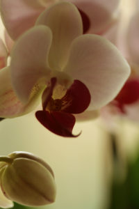Orchid by Umbilical cord-.jpg