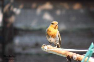 Robin by Nicky