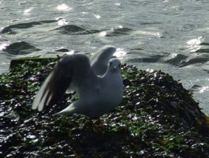 Seagull on seaweed strewn rock by Iconic