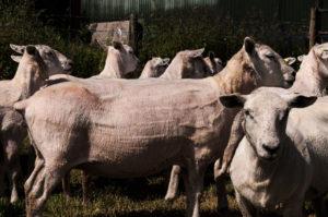 Sheep by Beth  Davis-Hofbauer