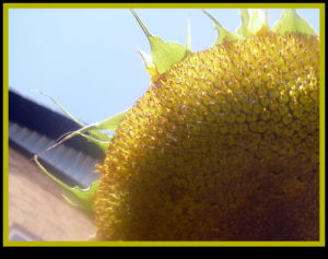 Sun flower by mumamafia