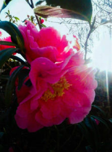 Sunlit Camellias by Iconic