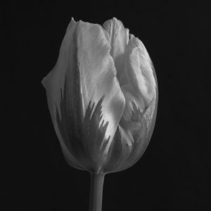 Tulip by Steven Edgar