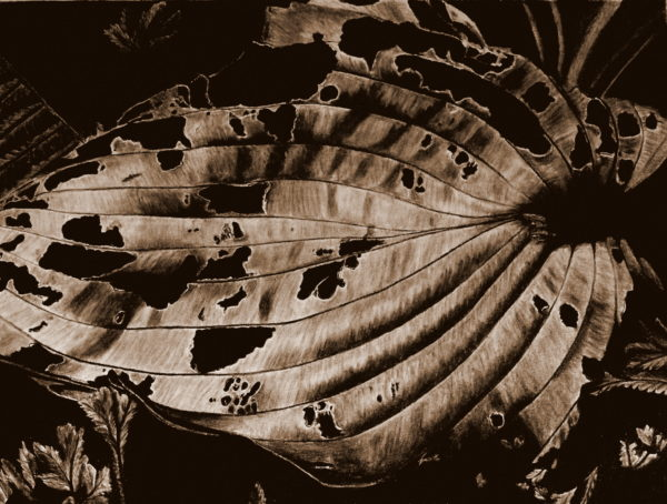Hosta Leaf Autumn by jayne morgan