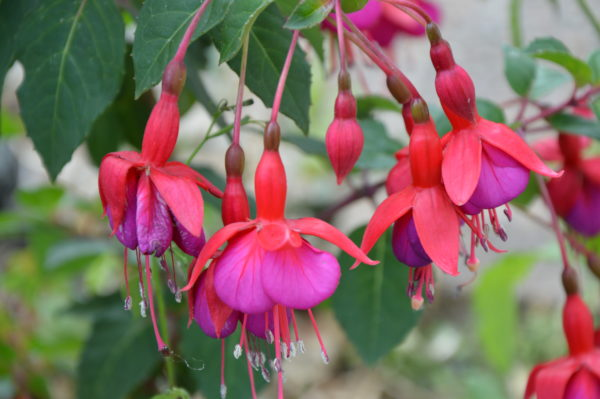 Fuchsias by Bailey Johnson