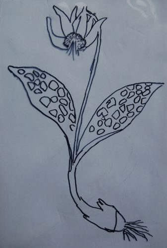 Erythronium by Scott Park