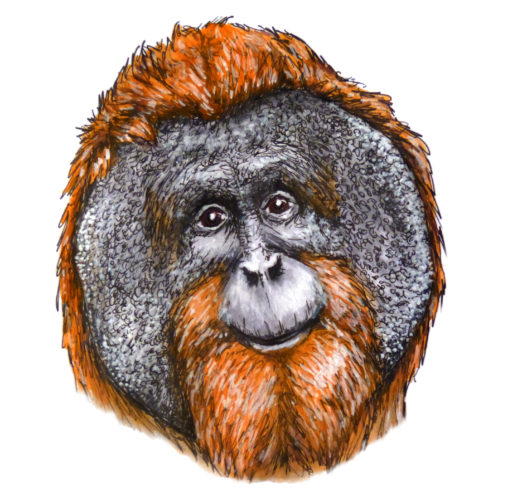 Orangutan by Hannah Walker