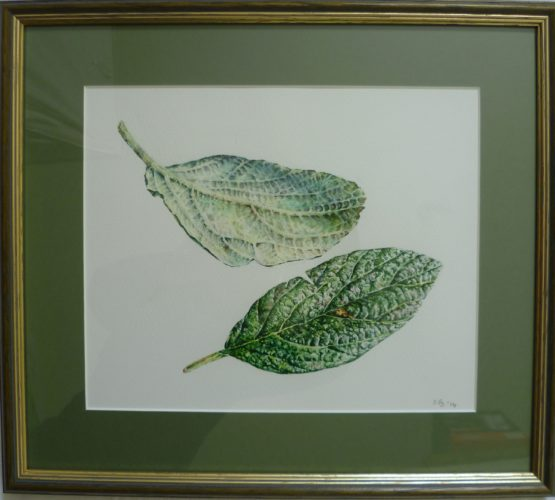Viburnum Leaves by SFS