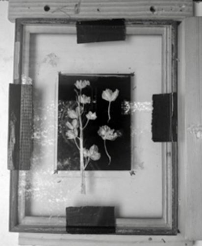 flora in homemade photogram exposure frame, on top of black glass plate, ready for exposure in the dark tent by Drew Fox