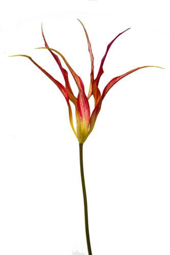 Tulipa acuminata by Mute swan on nest