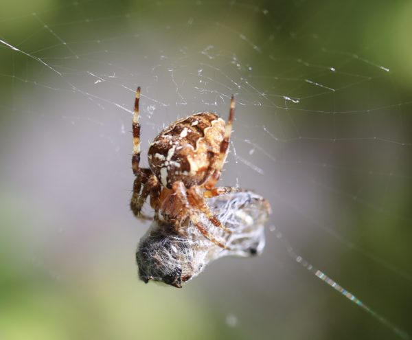 Garden Spider by Wasp