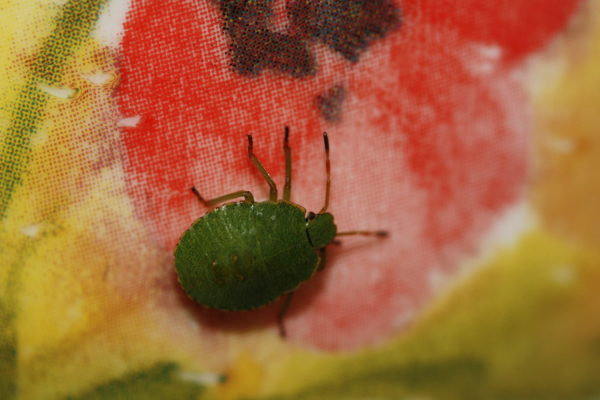 Shield Bug on Colour by Wasp