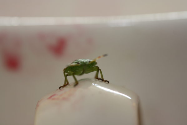 Shield Bug on China by Wasp