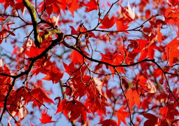 Red Leaves, Sheffield Park Gardens by Sarah Harris