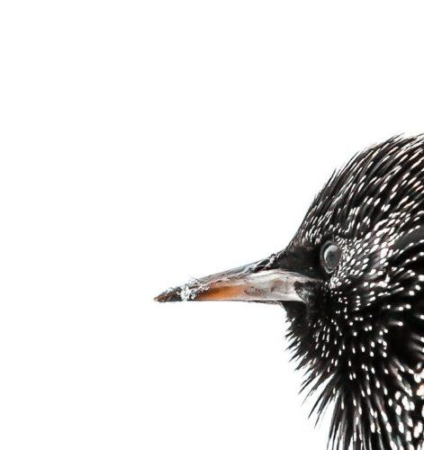 Starling III illustration detail. by ruffrootcreative
