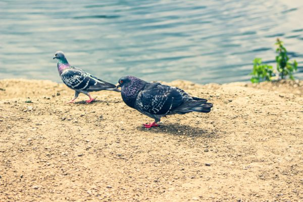 Two pigeons arguing by Emlyn William Scott