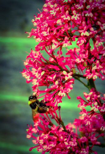 Bee on Valarium by Nick18
