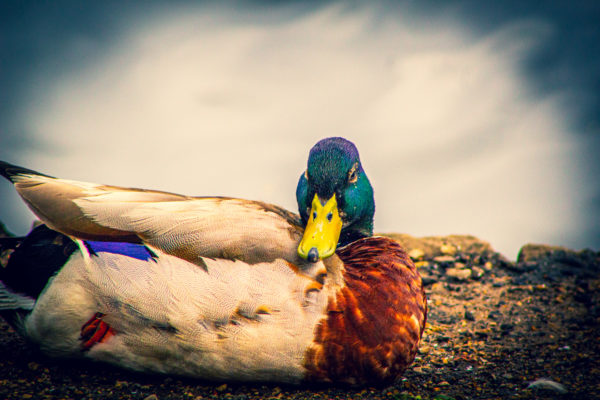 Ducking about by Emlyn William Scott