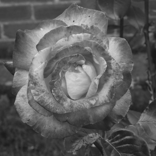 B/w Rose by Nick18