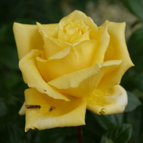 Yellow Rose by Nick18