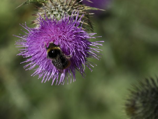 Bee on a thistle by Nick18