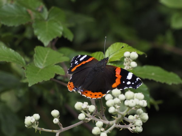 Red Admiral by Nick18