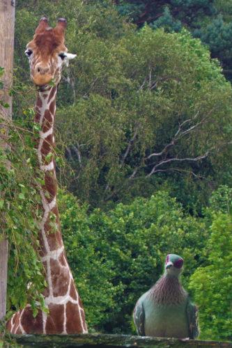 Giraffe & friend by Julie Bingley